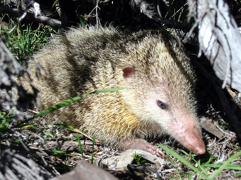 The average litter size of a Tailless tenrec is 16