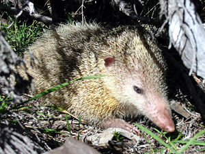 Fauna of Madagascar - Tailless tenrec (Tenrec ecaudatus), the largest of the tenrecs.