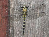 Tanypteryx pryeri.jpg
