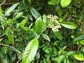 Tarenna asiatica-Asiatic Tarenna, Tharana, Pavattachedi, Kuppipoovu. 4.jpg