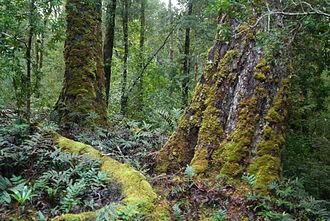 Tarkine - Tarkine forest, 2007