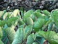 Taro leaves --by tom burke.jpg