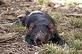 Tasmanian Devil resting.jpg