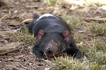 Although Tasmanian devils are nocturnal, they like to rest in the sun. Scarring from fighting is visible next to this devil's left eye. Tasmanian Devil resting.jpg