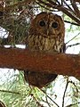 Tawny Owl (4746696871).jpg