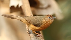 Tawny-bellied babbler - Image: Tawny bellied warbler 2 by David Raju (cropped)