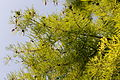 Taxodium distichum-IMG 8666.jpg