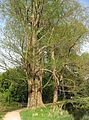 Taxodium distichum by Line1.jpg