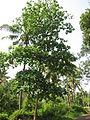 Terminalia catappa - Indian Badam 01.JPG