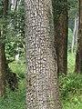 Terminalia elliptica - Begur, Wayanad 01.jpg