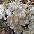Termitomyces microcarpus (Berk. & Broome) R. Heim 702474.jpg