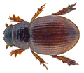 Tesarius caelatus (LeConte, 1857).png