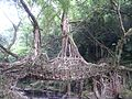 The Living Roots Bridge at Meghalaya.jpg