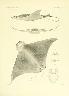 Lesser devil ray species of fish