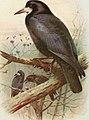 The birds of the British Isles and their eggs (1919) (14569054188).jpg