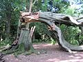 The dangerous arch created by the falling beech tree, Ashridge - geograph.org.uk - 1480195.jpg