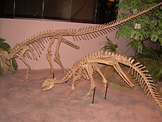 Thescelosaurus neglectus skeletons.JPG