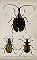 Three winged insects. Coloured engraving by W. H. Lizars. Wellcome V0020755EL.jpg