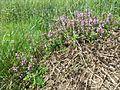 Thymus pulegioides subsp. pulegioides sl4.jpg