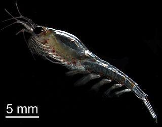 <i>Thysanoessa</i> genus of krill