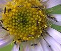 Thysanoptera P1300645b.jpg