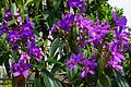 Tibouchina Granulosa (Purple Glory Tree) (28609067250).jpg
