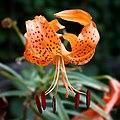 Tiger Lily (Lilium Lancifolium).jpg