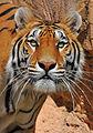 Tiger beauty (5466440914).jpg