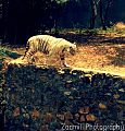 Tiger hiti.jpg
