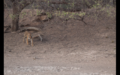 Tiger in Ranthambore 21.png