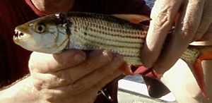 Tigerfish - Hydrocynus vittatus