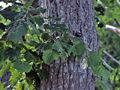 Tilia japonica.JPG