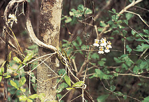 Puerto Rican dry forests - Psychilis krugii, an endemic orchid of dry limestone forests of Puerto Rico at the Guánica State Forest.