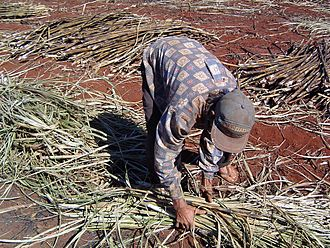 Human rights in Brazil - Barley slavery in a sugar plantation in the country.
