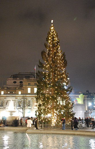 Picea abies - The Trafalgar Square Christmas tree in 2008. Given to London every year as a gift from Norway's capital city, Oslo, Norway spruces that are around 50 to 60 years old are typically used.