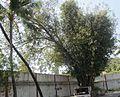 Tree, FicusReligiosa in temple.jpg