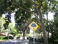 Tree Warning Sign on Oleander Avenue; NPR, Florida.JPG