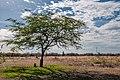Tree in Xerophile in Isla Margarita.jpg