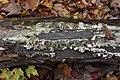 Trichaptum biforme, Gatineau Park (44607475074).jpg