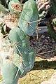 Trichocereus bridgesii.jpg