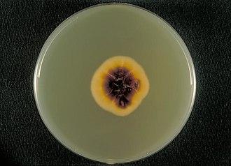 Trichophyton rubrum - Bottom view of a Sabouraud agar plate with a colony of Trichophyton rubrum var. rodhainii.