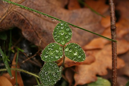 Trifolium sp. with their wet leaves in Segovia (Spain).