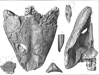 Trimerorhachis - Edward Drinker Cope's illustration of fossils of Trimerorhachis insignis.
