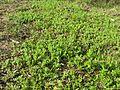 Triptilodiscus pygmaeus habit1 NT - Flickr - Macleay Grass Man.jpg