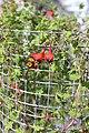Tropaeolum tricolor BotGardMunich 20170225 B.jpg