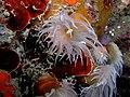 Tubastrea timor.jpg