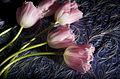 Tulip Series (3311767505).jpg