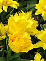 Tulipa (double early yellow cultivar) 02.JPG