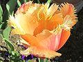 Tulpenblüte - panoramio (1).jpg