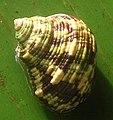 Turbo chrysostomus (3927492990).jpg